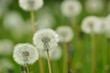 white Dandelions on a meadow, horizontal