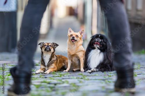 Sticker three cute small dogs on a cobblestone road