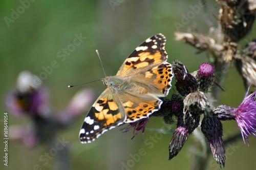 Fotobehang Vlinder Diestelfalter