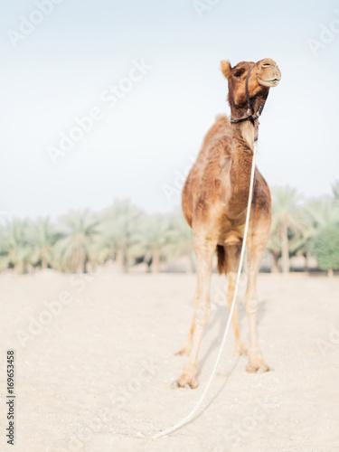 Papiers peints Dubai Camel