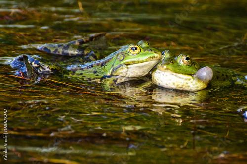 Fotobehang Kikker Color image of a frog couple being tender - Give me a Hug