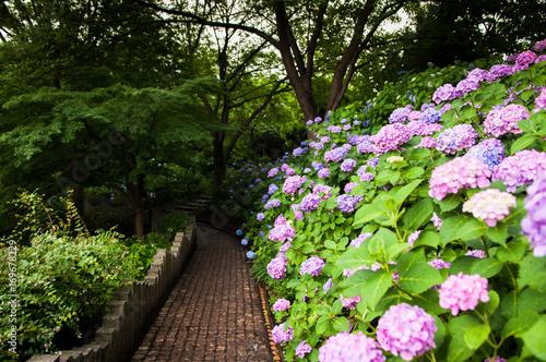 Fotobehang Hydrangea Hydrangea at Tamagawadai PArk, Ota, Tokyo, Japan