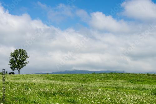 北海道 夏の草原と一本の木
