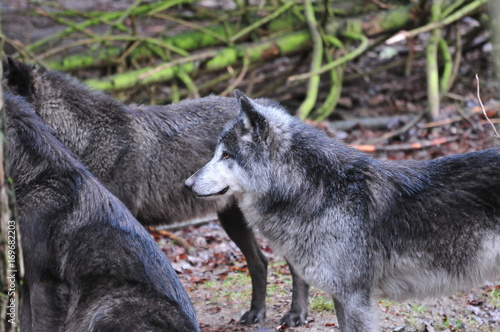Aluminium Wolf Edersee, Germany