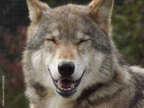 Smiling Wolf Poster