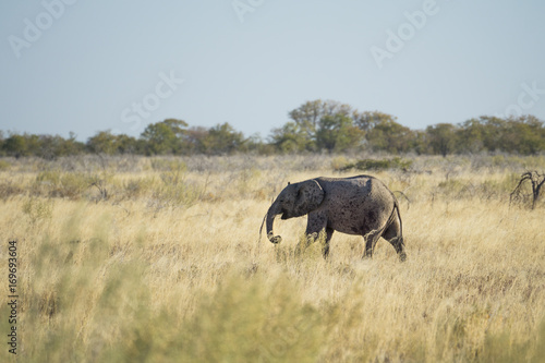 Baby elephant in the savannah Poster