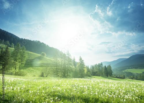 Aluminium Lente field of spring dandelions in Dolomites, South Tyrol, Italy