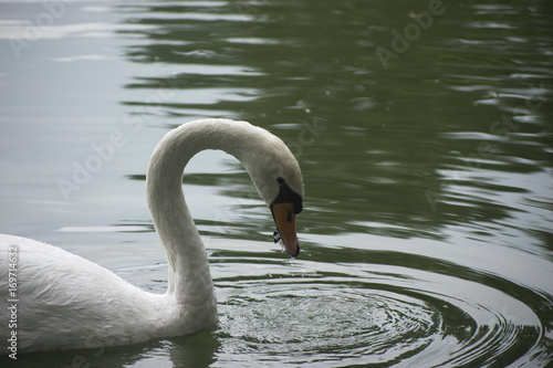 Fotobehang Zwaan white swan