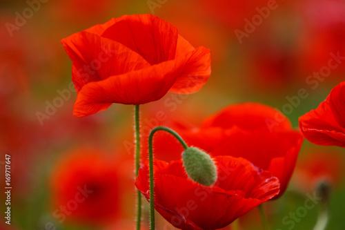 Staande foto Rood traf. Poppy field near Uzhgorod, Transcarpathia, Ukraine