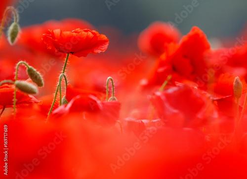 Foto op Canvas Rood Poppy field near Uzhgorod, Transcarpathia, Ukraine
