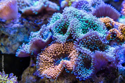 Ricordea florida Coral © Chonlasub