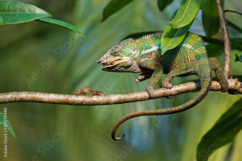 Fotobehang Kameleon A panther chameleon baby is catching a cricket by extending his tongue