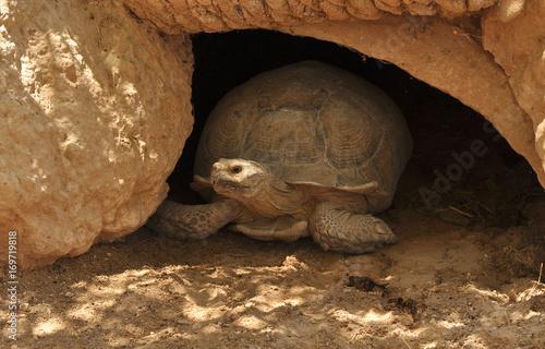 Aluminium Schildpad Большая черепаха выползает из норы. Степная черепаха смотрит в камеру