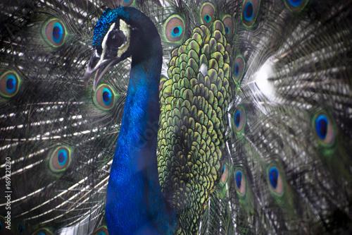 Fotobehang Pauw peacock blue green