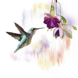 Fototapety Hummingbird and flowers watercolor