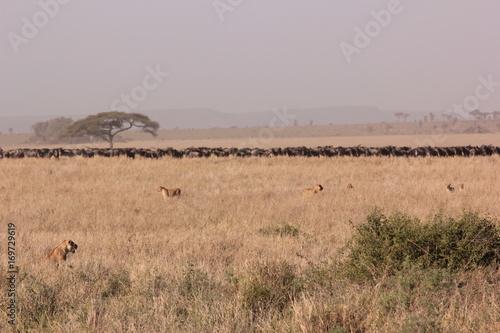 Papiers peints Taupe Serengeti wildlife