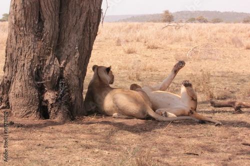 Fotobehang Kameel Serengeti wildlife