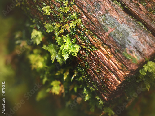 Blurred image, fresh green fern leaf and moss grows on a tree in the woods, rain Poster