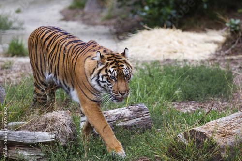 Fotobehang Tijger Siberian Tiger