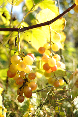 Close-up of bunches of white wine grapes on vine, selective focus.