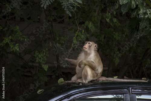 Aluminium Aap Monkey thinking and sitting on the roof of the car.
