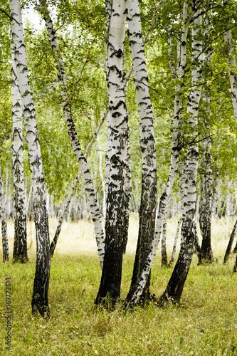 Fotobehang Berkenbos birch forest summer landscape