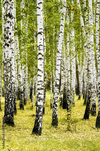In de dag Oranje birch forest summer landscape