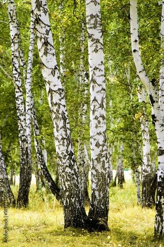 birch forest summer landscape