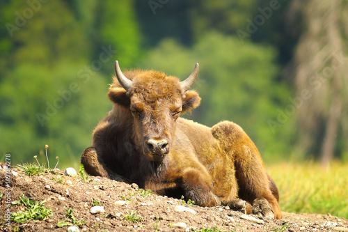 Fotobehang Bison juvenile european bison