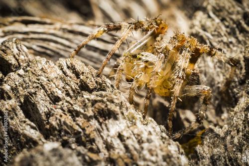 Pająk krzyżak,  Araneus Poster