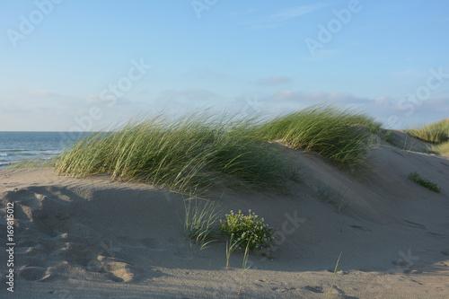 Aluminium Noordzee Strandhafer in den Stranddünen der Nordsee auf Zeeland, Holland