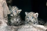 Fototapeta Two cute snow leopard baby portrait