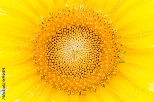 Fotobehang Geel ひまわりの花