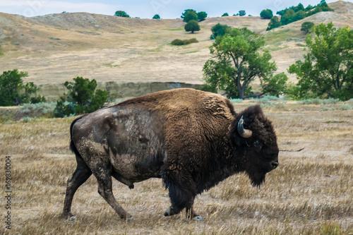 Fotobehang Bison Bison 3