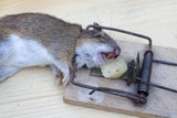 mouse in a wooden mousetrap - 169833621