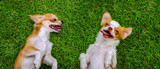 Two Chihuahua dog slept on grass