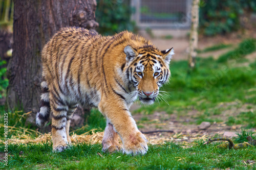 Fotobehang Tijger Tiger in forest. Tiger in the nature