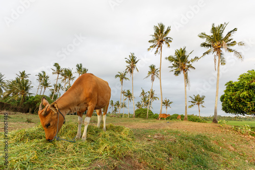 Papiers peints Bali Cows in fields near the sea, Bali