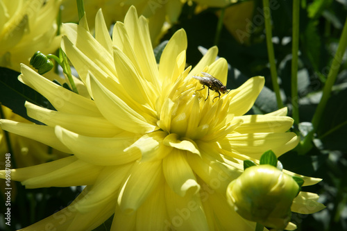Poster Yellow Dahlia and a fly
