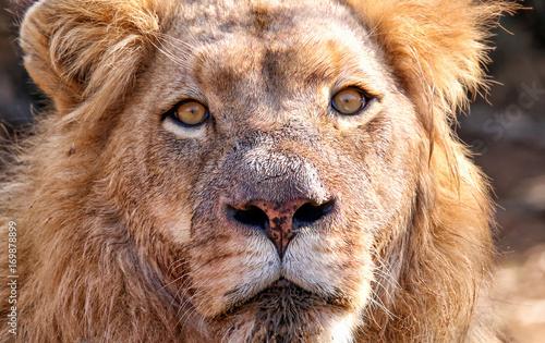Fotobehang Lion Simba