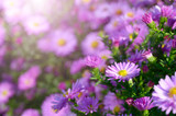 Violet Asters - 169896088