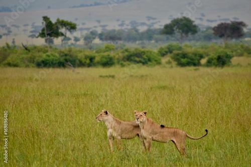 ケニアの雌ライオン Poster
