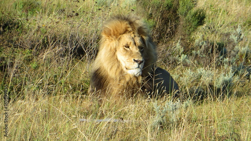 Fotobehang Lion Male Lion chilling in the african morning sun, South Africa