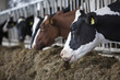 heads of black and white holstein cows feeding in stable in the netherlands