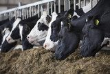 heads of black and white holstein cows feeding in stable in the netherlands - 169901659