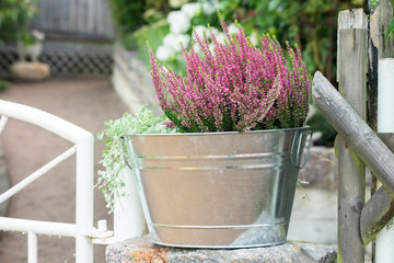 Flowering purple pink heather in a metal bucket on stone beside a white garden gate.