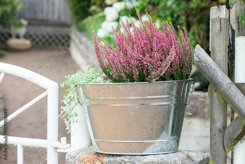 Kwiatonośny purpury różowy wrzos w metalu wiadrze na kamieniu obok białej ogrodowej bramy.