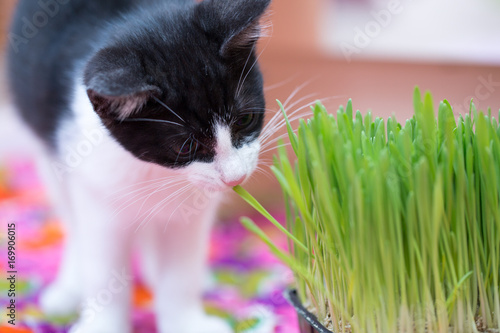Papiers peints Herbe little kitty and eat grass