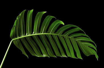 Monstera deliciosa leaf or Swiss cheese plant, isolated on black background, with clipping path