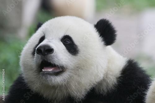 Aluminium Panda Closed-up Baby Panda face, Chongqing, China